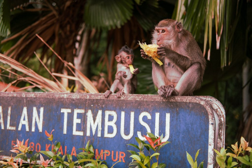 Two monkeys sitting on a sign board eating a mango