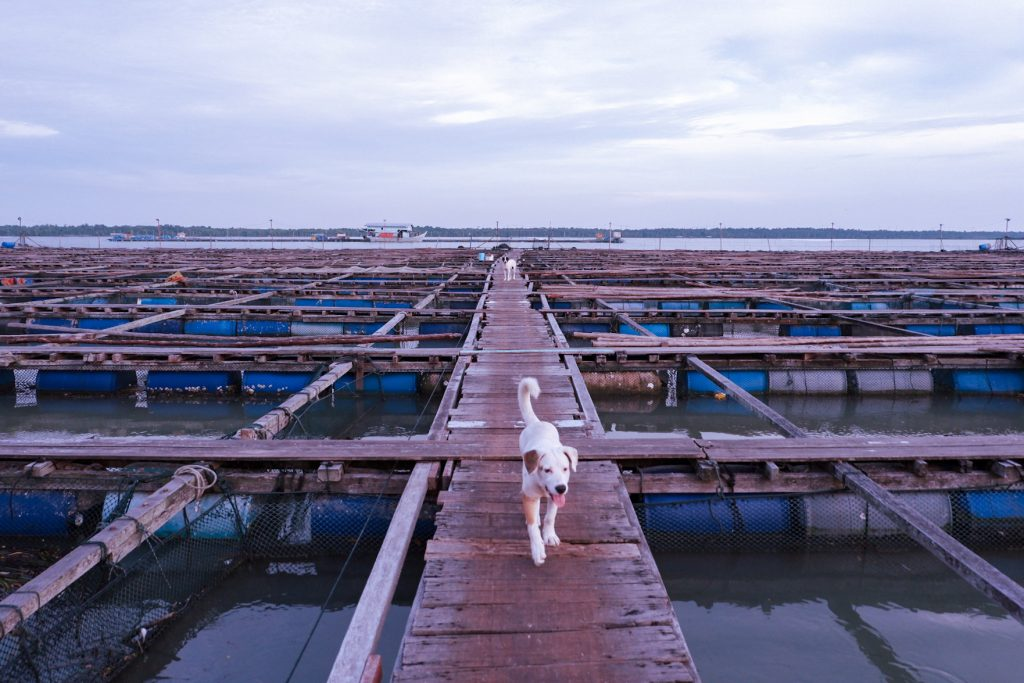 A white dog in a floating fish farm
